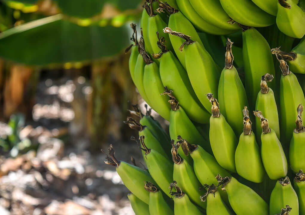 Populaire bananen