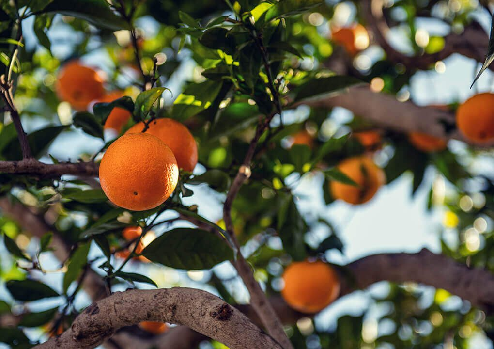 sinaasappels op het werk